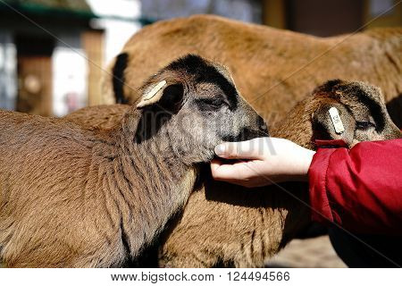 young Cameroon sheep in a petting zoo