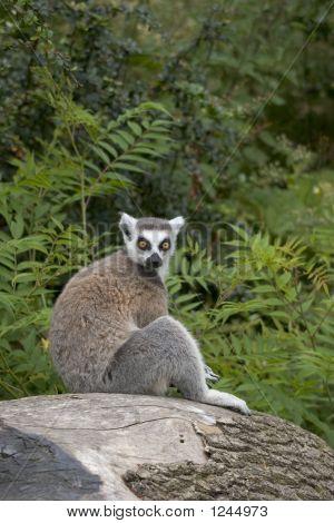 Ring-Tailed Lemur Sitting On A Tree Stump
