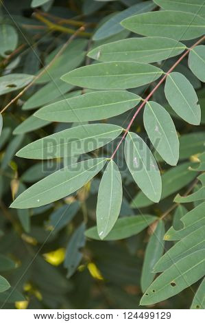 fresh green Senna siamea leaves in nature garden