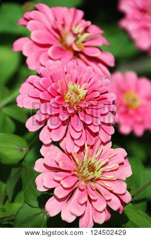 Closed Up Zinnia Flower African daisy - Zinnia violacea