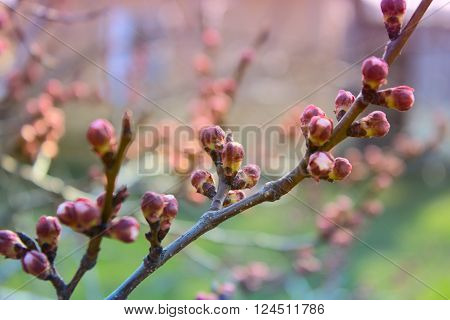 apricot flower bud on a tree branch branch with tree buds