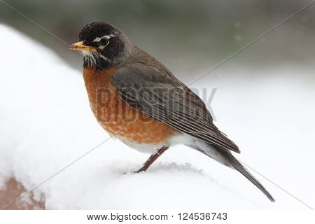 An American Robin (Turdus migratorius) perching on a snowy day in April.