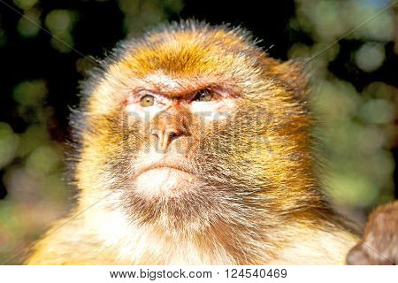 Bush Monkey In Africa Morocco And