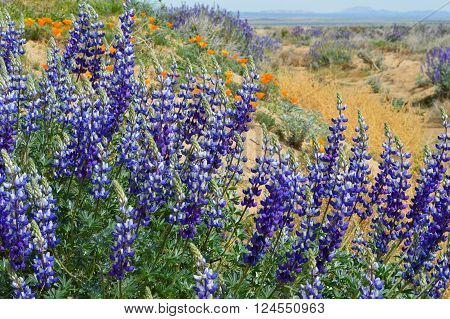 Lupine and poppies in bloom during spring in the Antelope Valley of California.