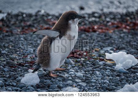 Adelie penguin chick running along stony beach