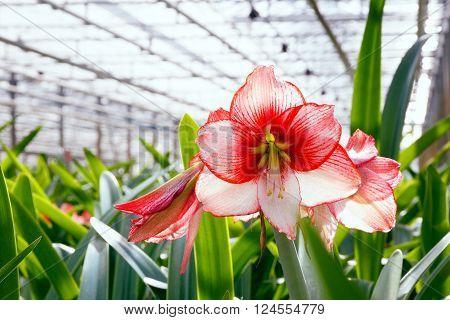 Amaryllis Greenhouse
