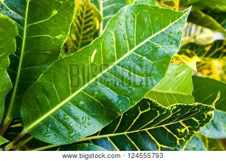 Closeup Photo Of Wet Fresh Tropical Leaves