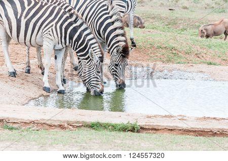 Two Burchells zebras, Equus quagga burchellii, drinking at a waterhole
