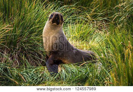 Antarctic fur seal posing in tussock grass