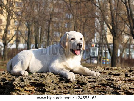 A Yellow Happy Labrador Puppy In Garden Portrait