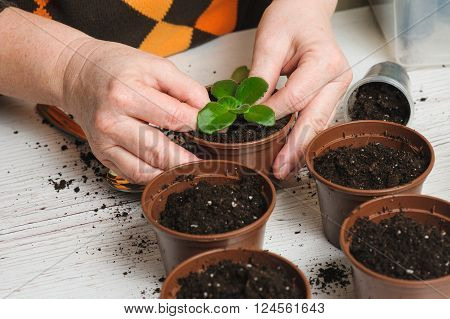 Woman plants a houseplant. Picture of the old woman's hand planting houseplant indoors. Several brown flower pot with soil heap of soil on a light wooden background. Earth Day.