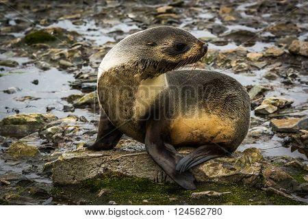 Antarctic fur seal turning head on rocks poster