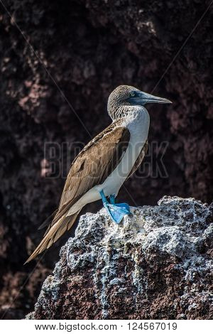 Blue-footed booby perched on rock with guano