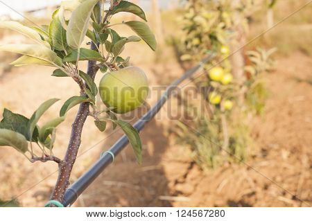 Green Apple On Its Shaft Whith Irrigation Pipe