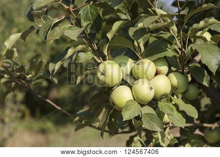Green Apple On Its Shaft