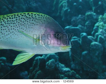 Blackspotted Sweetlips Closeup