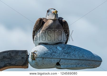 Brown pelican perched on streetlamp in sunshine