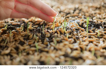 Sowing Wheat Crop. Wheat Green Seeds a Raw Food Diet. Hand Touching young shoot. Germination of Wheat at home Growing and Agriculture. Spring landing. Spraying the ground fertilizer water