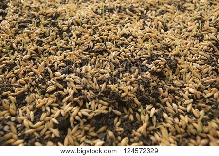 Sowing Wheat Crop. Wheat Green Seeds a Raw Food Diet. Healthy Vegetarian Food concept: Germination of Wheat at home Growing and Agriculture. Spring landing. Spraying the ground fertilizer water