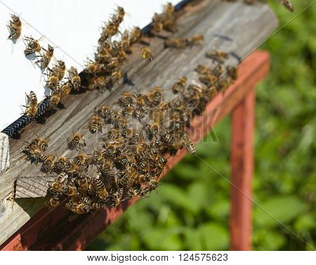 Group of bees near a beehive