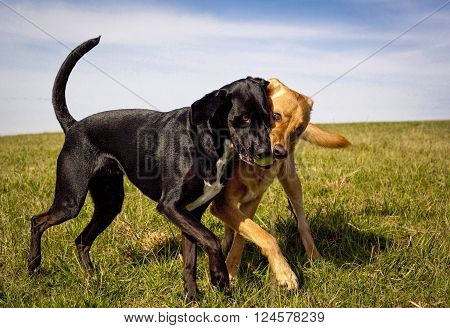 One black one beige mutt play fighting over a green tennis ball in an open green field
