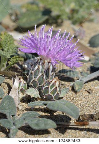 Centaurea aegialophila  A Knapweed of coastal sands from Eastern Mediterranean