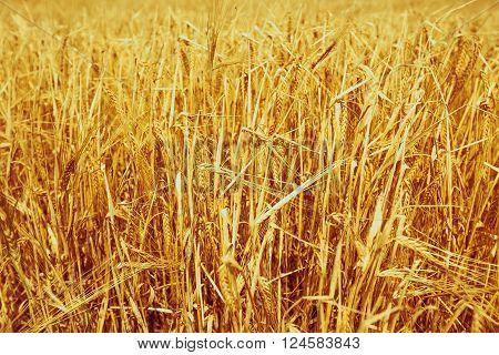 Ripe Cereal Field