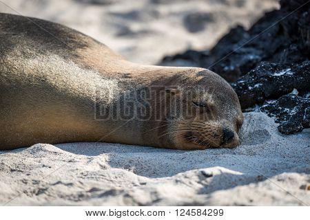Galapagos sea lion asleep on sandy beach