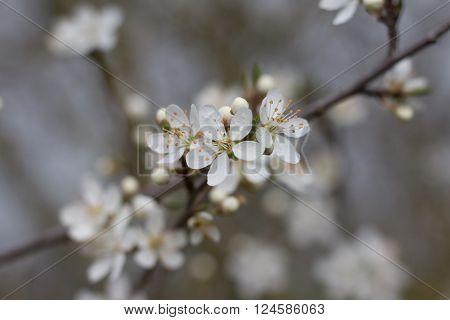 White Cherry Tree Blossom Flower - Selective Focus