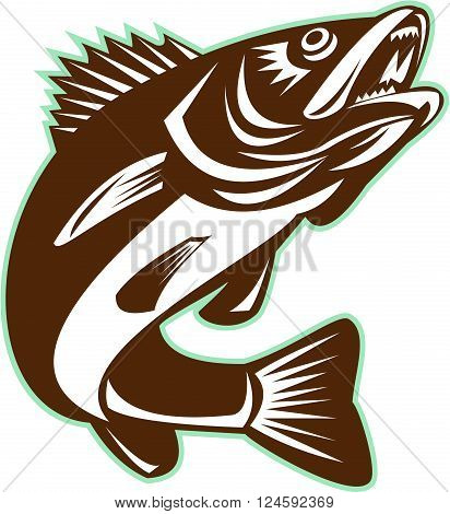 Illustration of a Walleye (Sander vitreus formerly Stizostedion vitreum) a freshwater perciform fish jumping up on isolated background done in retro style.