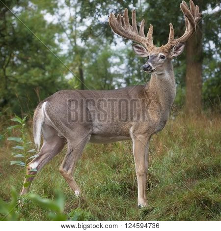 Alert, profile image of a white-tailed deer buck in velvet. Summer in Wisconsin.