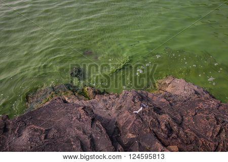 Serious pollution in China's Taihu Lake Cyanobacteria