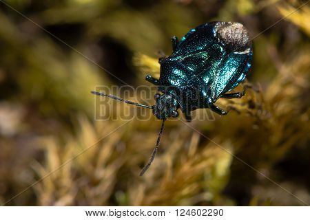 Blue shieldbug (Zicrona caerulea) from above. An iridescent true bug in the family Pentatomidae showing metallic colouring