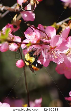 A Honey Bee gets nectar from a flowering bush. poster