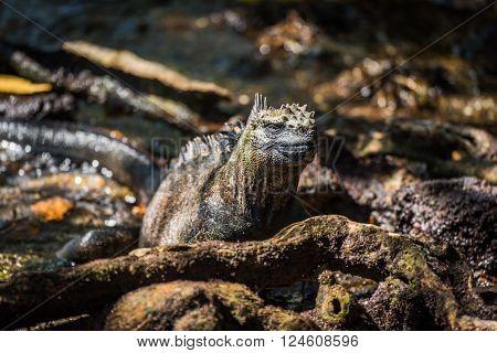 Marine iguana among roots staring at camera ** Note: Visible grain at 100%, best at smaller sizes