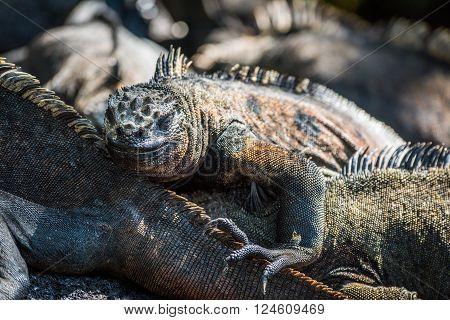 Marine iguana climbing over others in sunshine