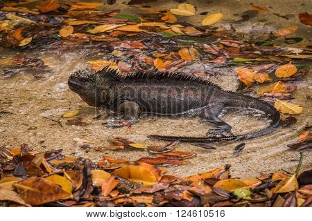 Marine iguana lying in water with leaves