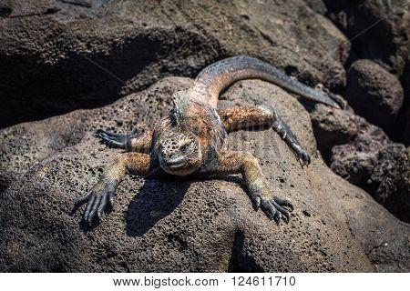 Marine iguana lying on rocks in sunshine