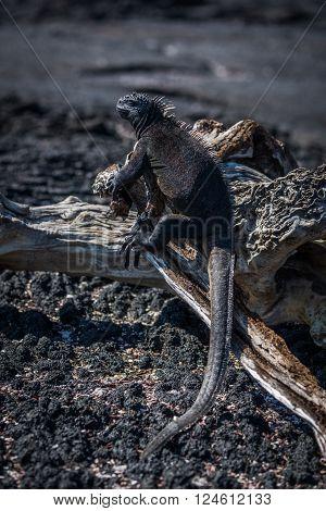 Marine iguana on old log in sunshine