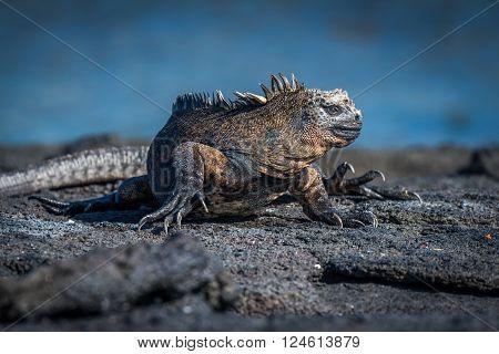 Marine iguana turning head on volcanic rock