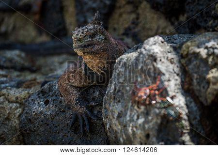Marine iguana with blurred Sally Lightfoot crab