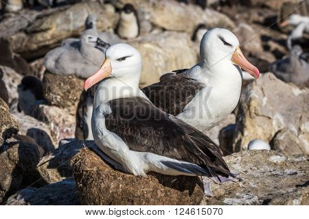 Pair of black-browed albatross nesting in colony poster