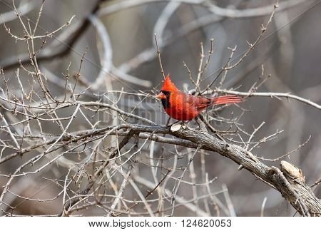 The northern cardinal is a North American bird in the genus Cardinalis; it is also known colloquially as the redbird or common cardinal.During courtship, the male feeds seed to the female beak-to-beak