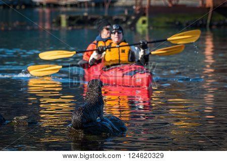 Twin kayak passing Antarctic fur seal pup