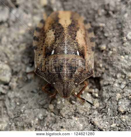 Tortoise shieldbug (Eurygaster testudinaria). Small brown true bug in the family Pentatomidae, on bare ground in the UK