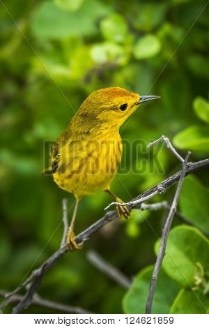 Yellow warbler perched on branch in forest