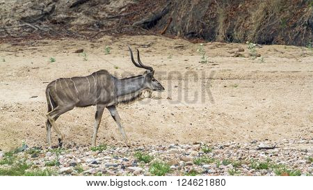 Specie Tragelaphus strepsiceros family of bovidae, greater kudu walking the bush in Kruger Park
