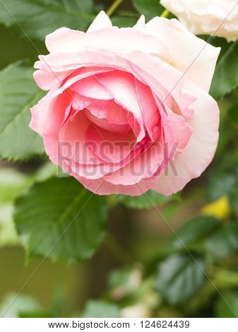 The flower of a rose is elegant and beautiful. ** Note: Visible grain at 100%, best at smaller sizes
