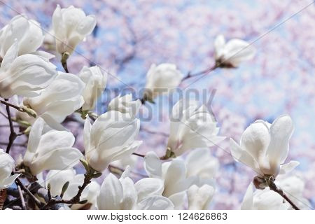 White magnolia flowers with selected focus over blooming cherry and blue sky