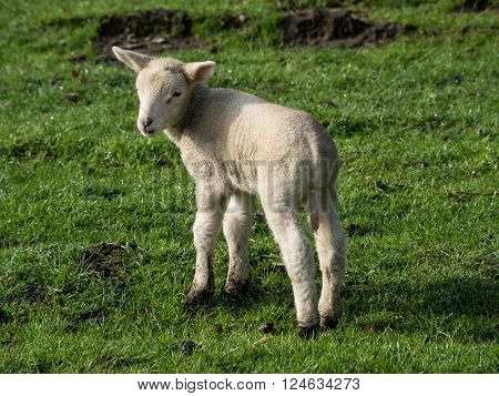 sheeps and lambs in the german muensterland